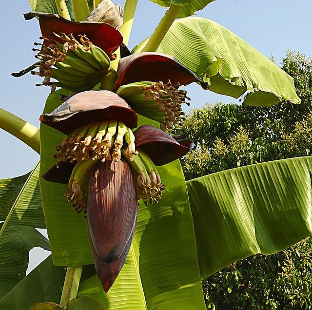 Banana flower small bananas shrub.