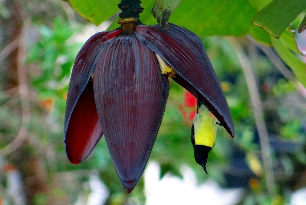 Banana flower sunbird purple-rumped sunbird.