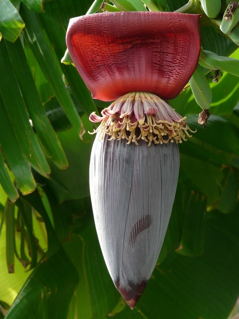 Banana fruit inflorescence, food drink.