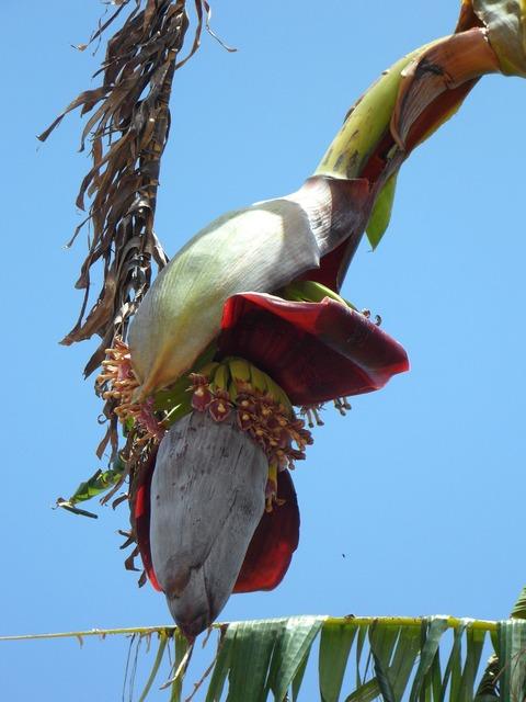 Banana inflorescence plant, nature landscapes.