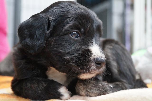 Barbado da terceira dog portugal, animals.