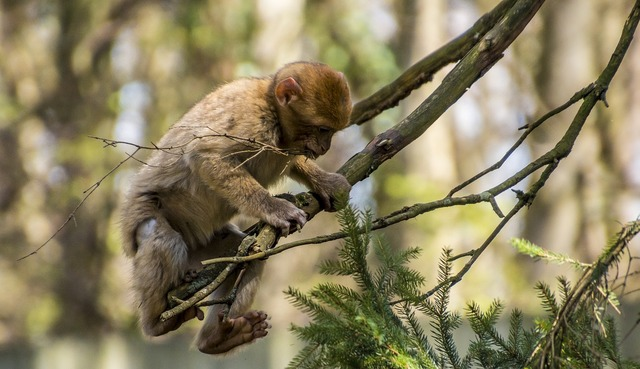 Barbary ape monkey young animal, nature landscapes.