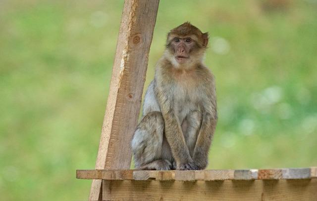 Barbary ape old world monkey primates.