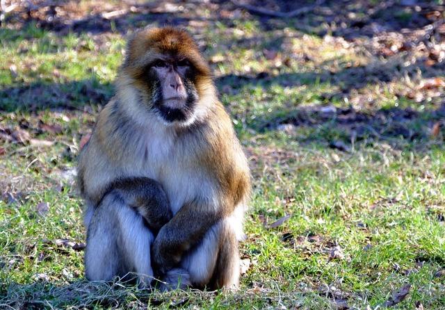 Barbary macaque monkey barbary, animals.