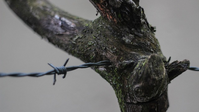 Barbed wire branch closeup.