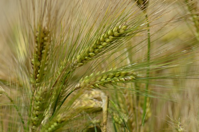 Barley cereal agriculture.