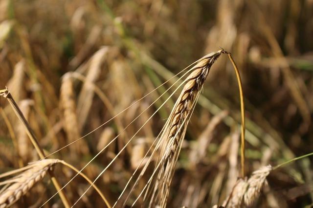 Barley cereals field.