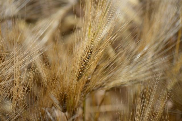 Barley feed close cereal.