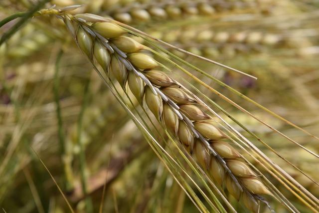 Barley nourishing barley ear.