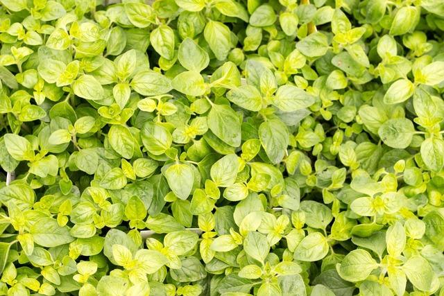 Basil green kitchen spice, nature landscapes.