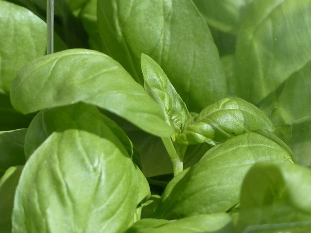 Basil ocimum basilicum kitchen herb, nature landscapes.