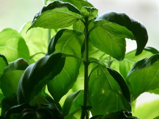 Basil plant spice, nature landscapes.