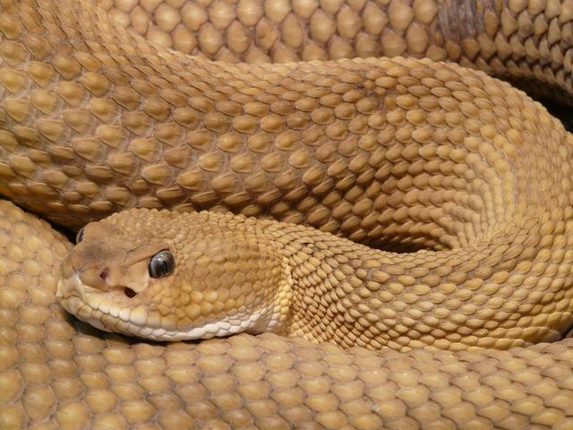Basilisk rattlesnake rattlesnake snake, animals.