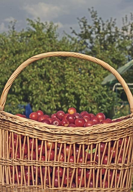 Basket plum frisch, nature landscapes.