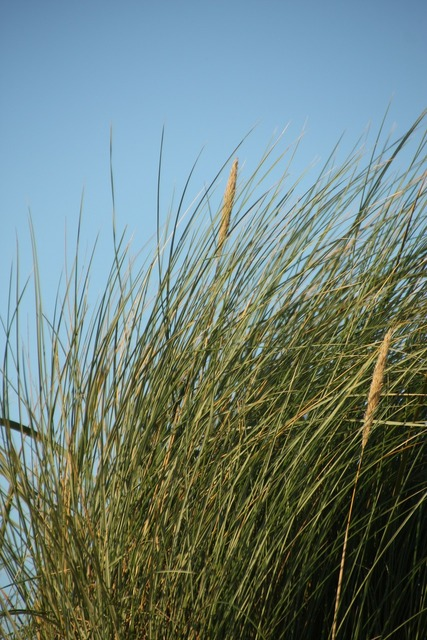 Beach marram grass grass, travel vacation.