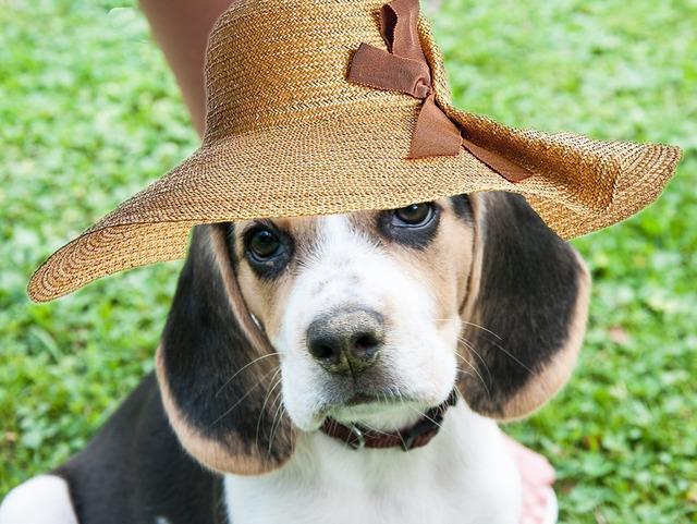 Beagle dog bitch, animals.