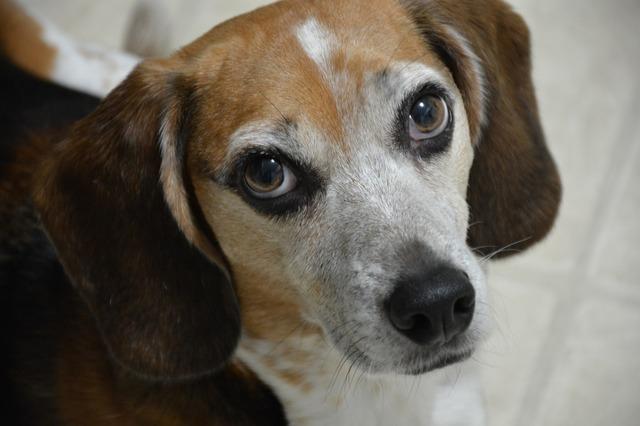 Beagle dog canine, animals.