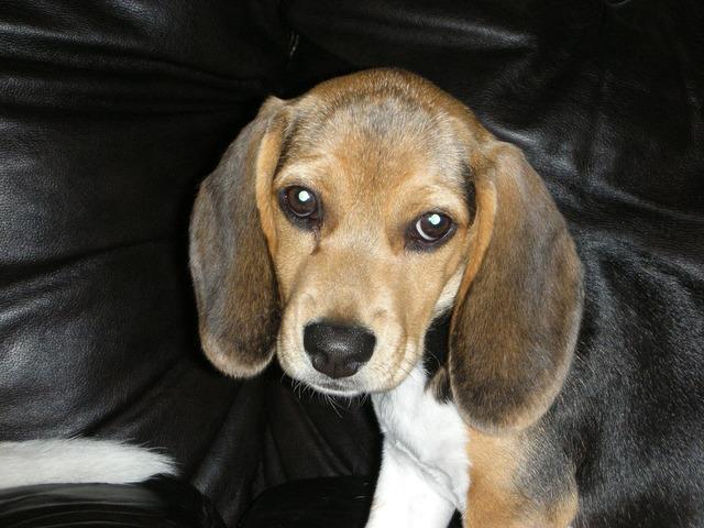 Beagle dog pet, animals.