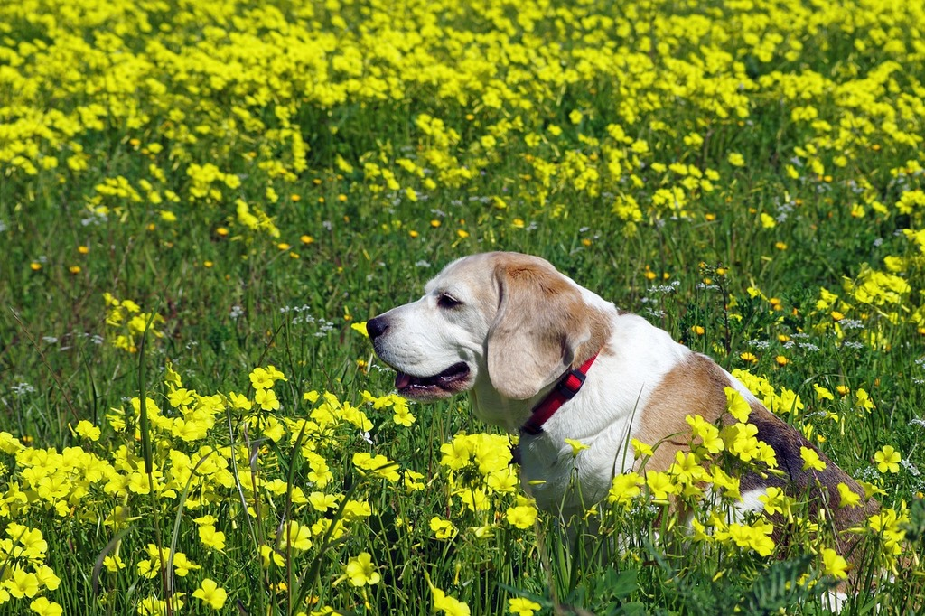 Beagle dog snuff, animals.