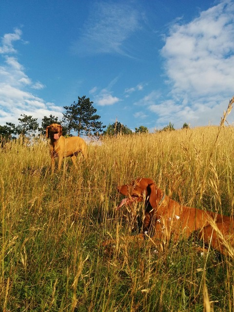 Beagle hiking dogs.