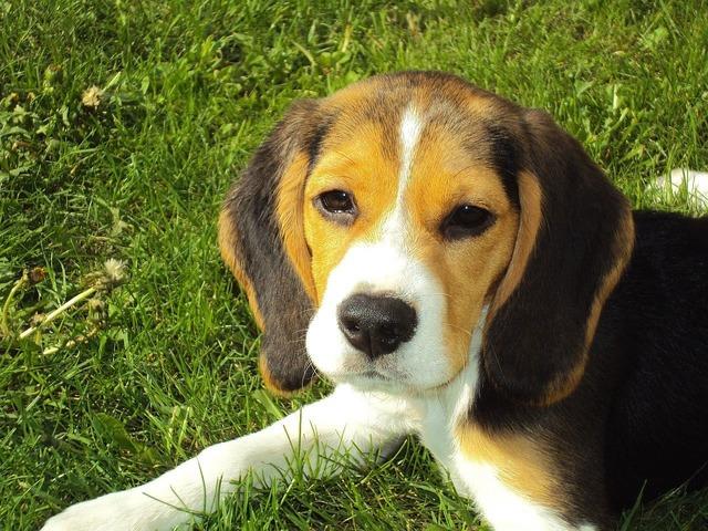 Beagle puppy beagle hound, animals.