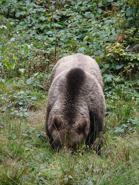 Bear brown bear forest, nature landscapes.