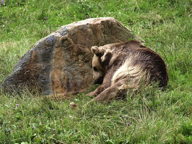 Bear brown predator, animals.