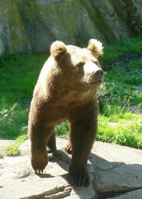 Bear wilderness brown bear, animals.