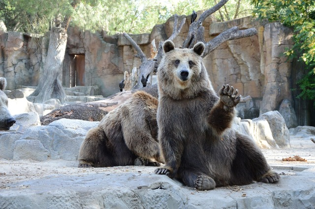 Bear zoological gardens madrid, emotions.