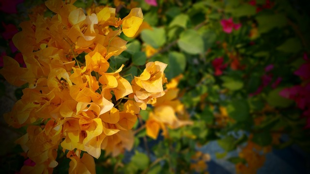 Beautiful bougainvilleas bright.