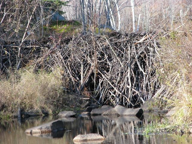 Beaver dam close-up deer rock lake.