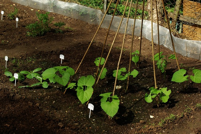 Bed beans garden, nature landscapes.