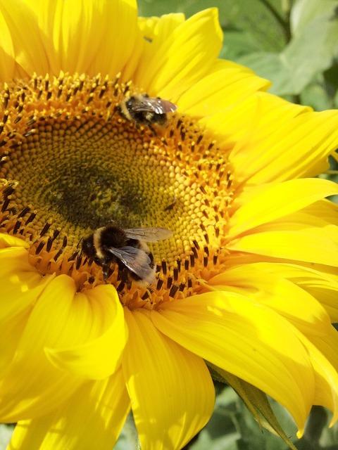 Bee bumblebee sunflower.
