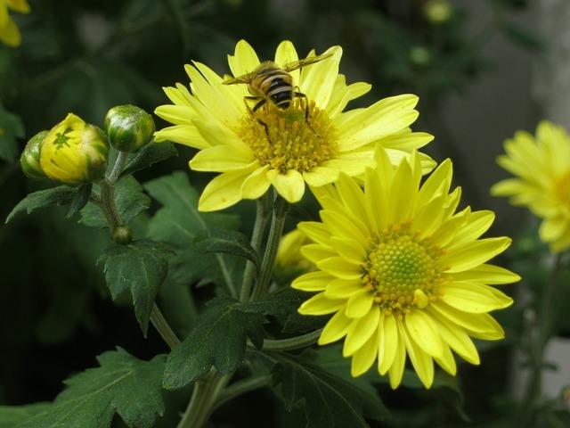Bee flowers chrysanthemum.