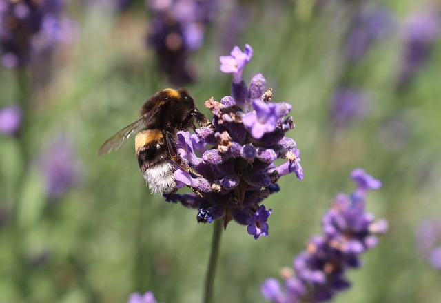 Bee lavender insect, animals.