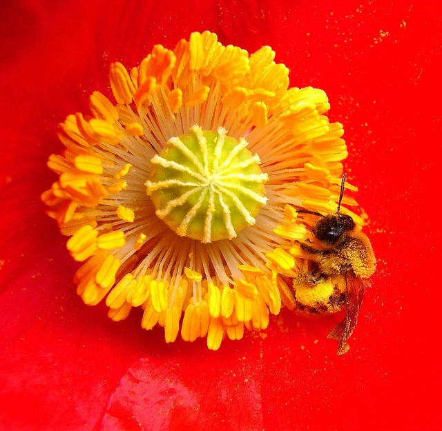 Bee on poppy insect bee on flower, animals.