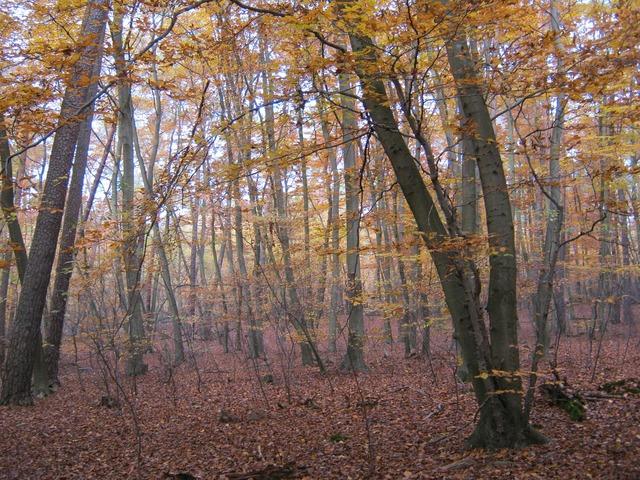 Beech wood golden november.