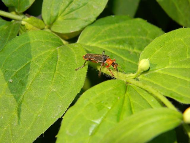 Beetle beetle firefighter soldier beetle, animals.