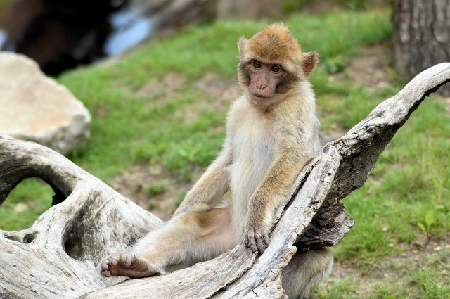 Berber monkey ape, animals.