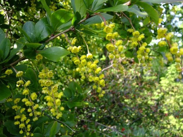 Berberis blossom bloom, nature landscapes.