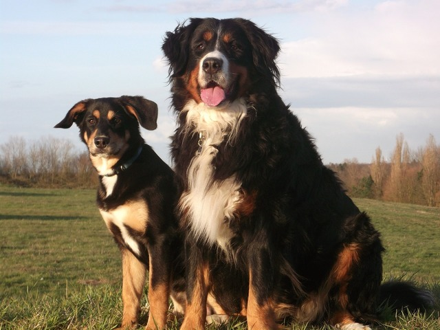 Berner dog good, animals.