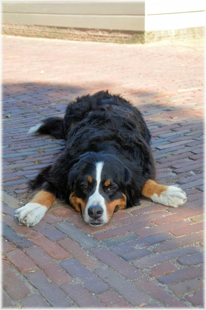 Bernese mountain dog pedigree pet, animals.