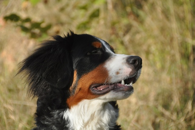 Bernese mountain dogs dog youngster, animals.