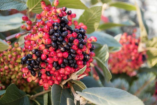 Berries red black, nature landscapes.
