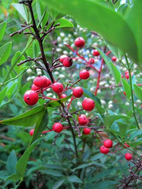 Berries red round, nature landscapes.