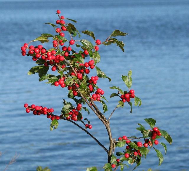 Berries shrub unknown species.