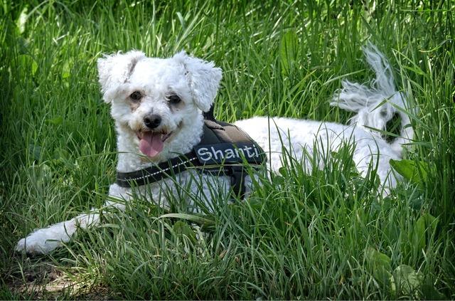 Bichon frise dog lying, animals.