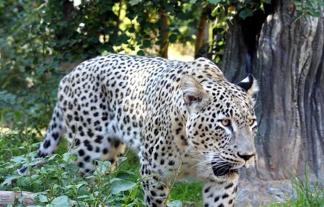 Big cat cat leopard, animals.