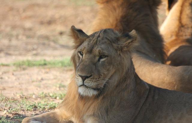 Big cat face lion.