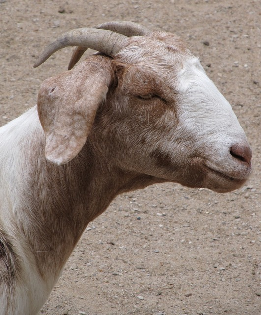 Billy goat domestic pet, animals.